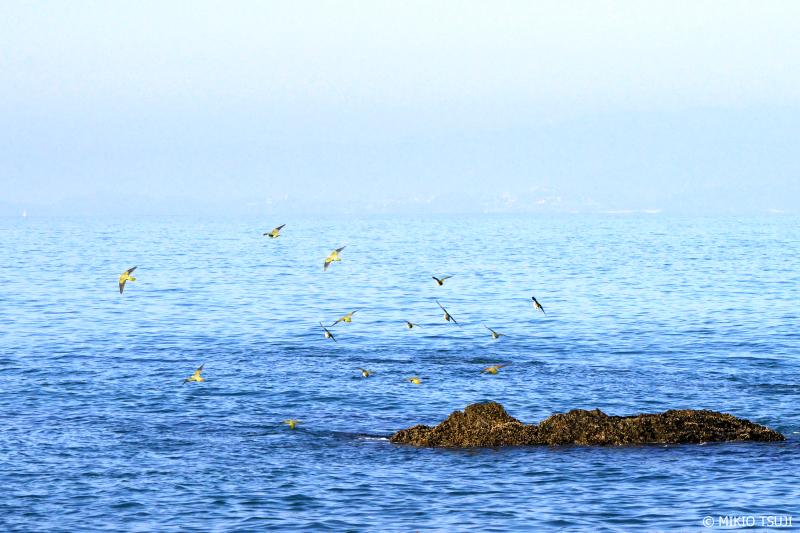 絶景探しの旅 - 0967 アオバトの海 (神奈川県 大磯町)