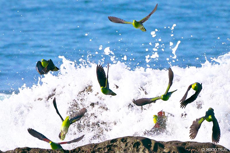 絶景探しの旅 - 0969 はじける波から飛び立つアオバト (神奈川県 大磯町)
