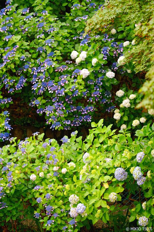 絶景探しの旅 - 0979 高幡不動尊の紫陽花の壁 (東京都 日野市)