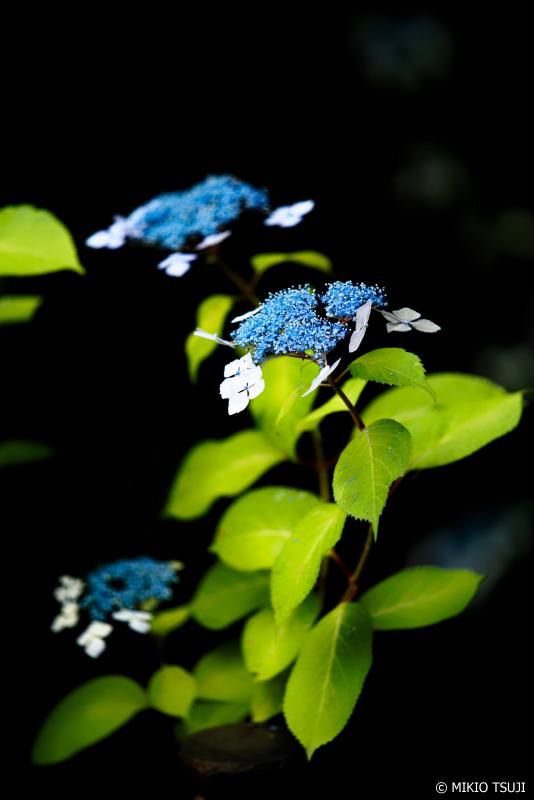 絶景探しの旅 - 0981 浮かび上がる額紫陽花 (高幡不動尊/東京都 日野市)