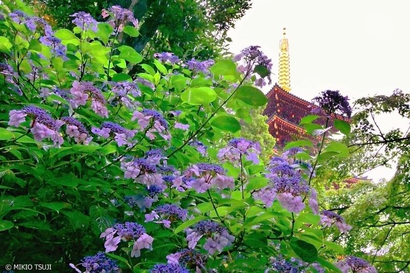 絶景探しの旅 - 0262 梅雨の雨と紫陽花 (高幡不動尊/東京都 日野市)