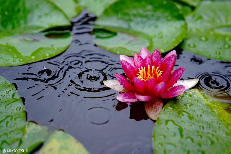 絶景探しの旅 - 0983 雨降る睡蓮の池(桂林寺/山梨県 都留市)