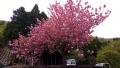 4_八重桜