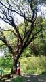 18_ハゼの大木