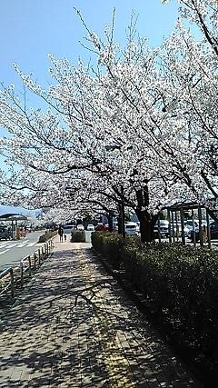 平成名残の桜満開