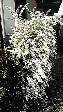 H31年我が家の庭に咲く雪柳